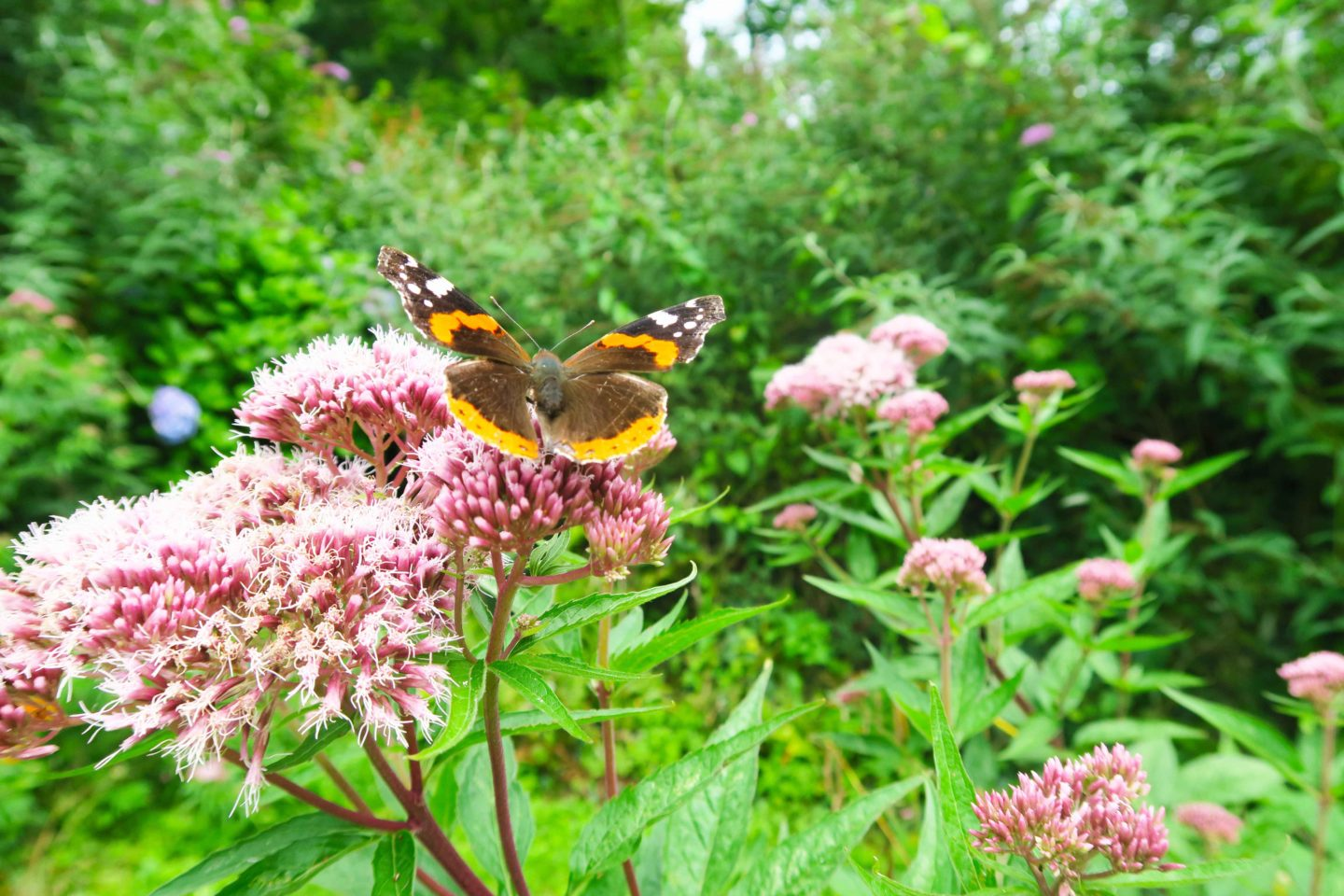 brown, orange and white butterfly on prink flower in cornwall