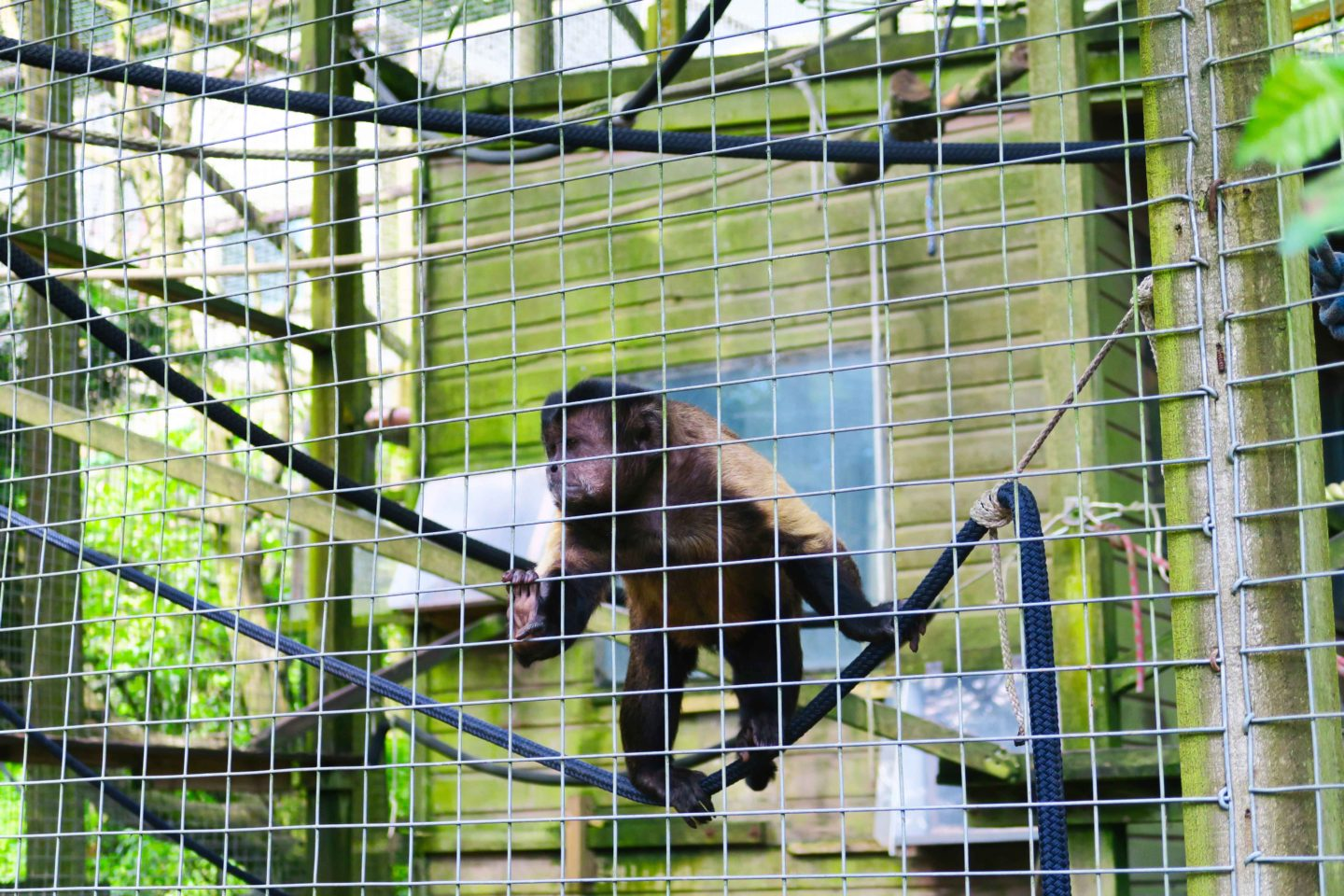 capuchin playing on rope in looe monkey sanctuary