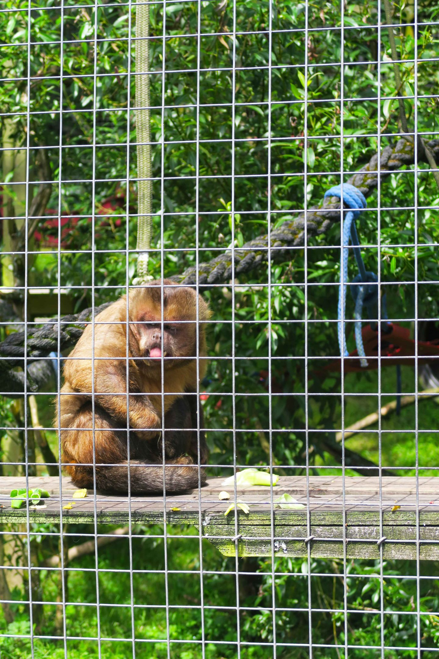capuchin with tongue out in looe monket sanctuary in cornwall