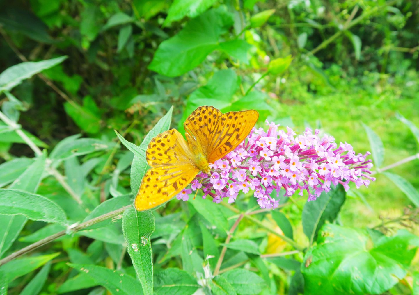 yellow butterfly on pink flower at looe monkey sanctuary in cornwall