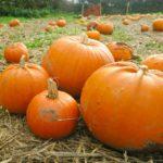 pumpkins on farm