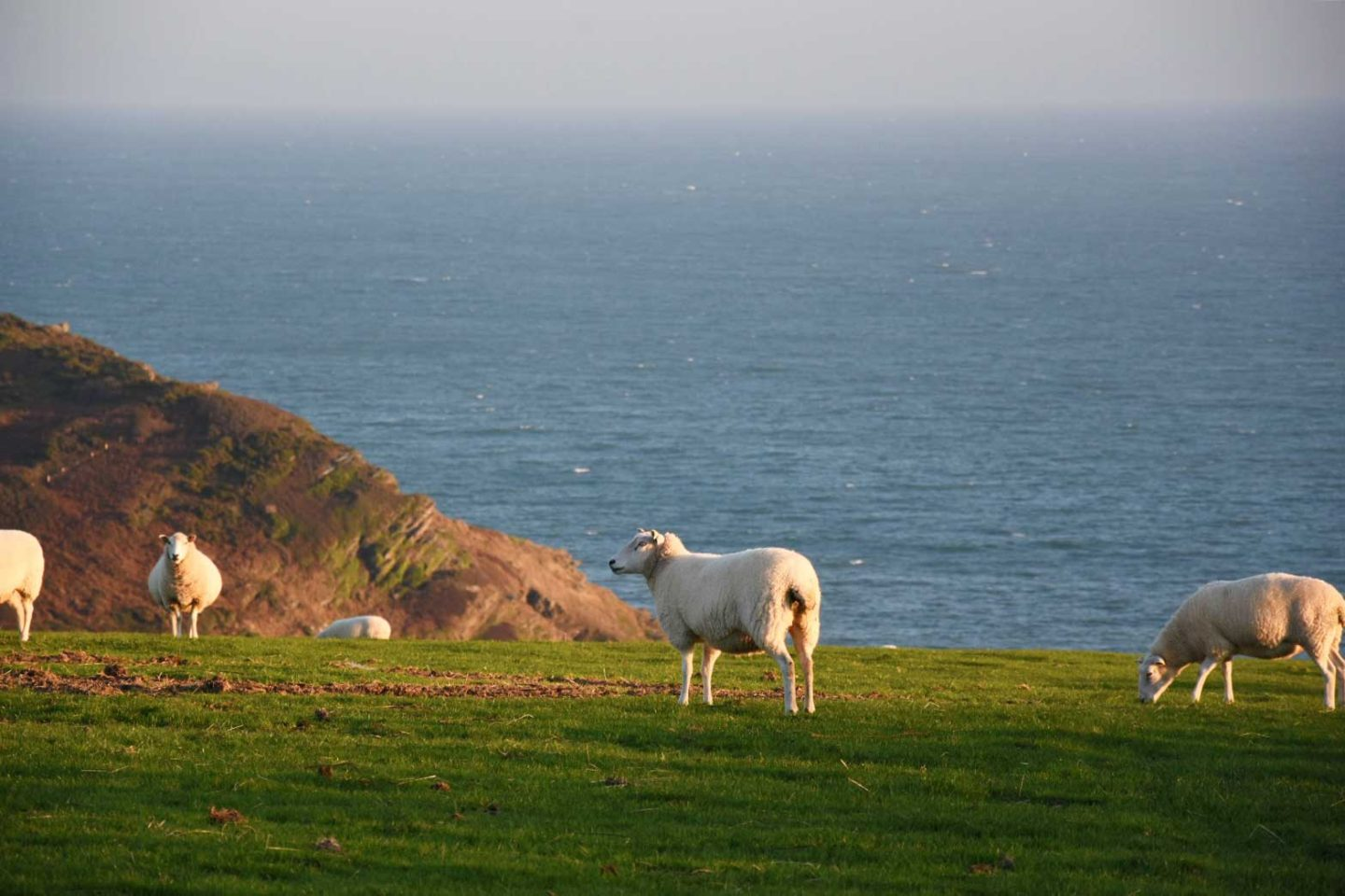 polruan-fowey-sheep-on-headland