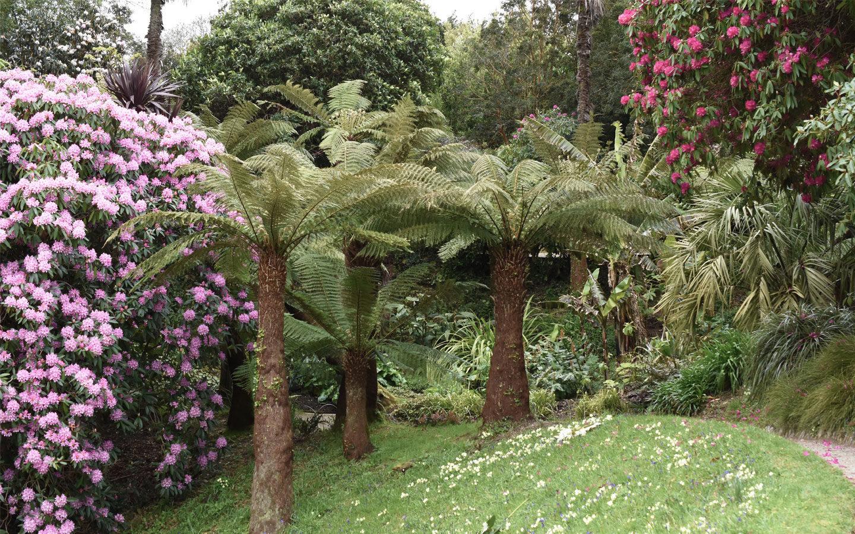 fern trees at gelndurgan gardens in cornwall