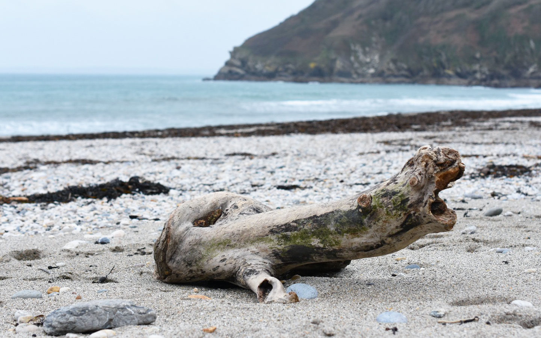 driftwood at lantic bay in cornwall