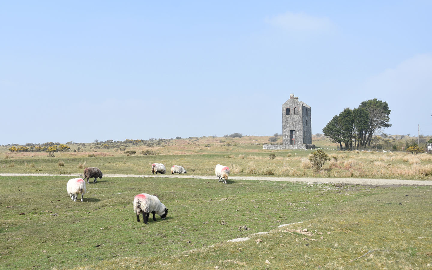 herd of sheep grazing in front of engine house on bodmin moor in cornwall