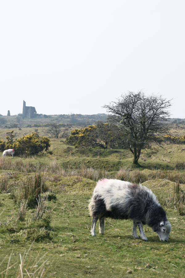 sheep and engine house on bodmin moor in cornwall