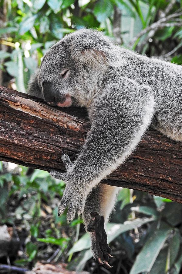 koala sleeping on branch of a tree