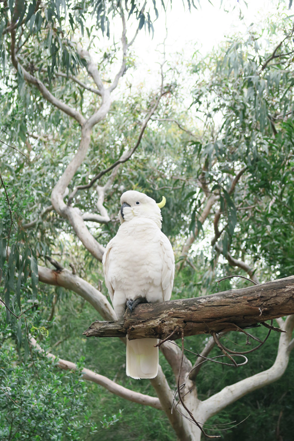 cockatoo sat on branch on the great ocean road in australia