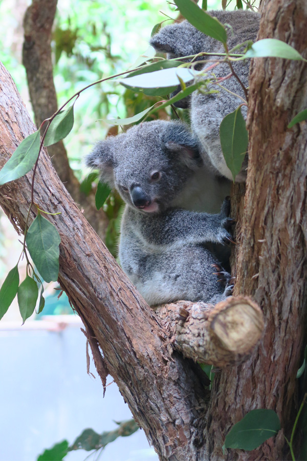 koala in tree at hartleys adventure park in australia