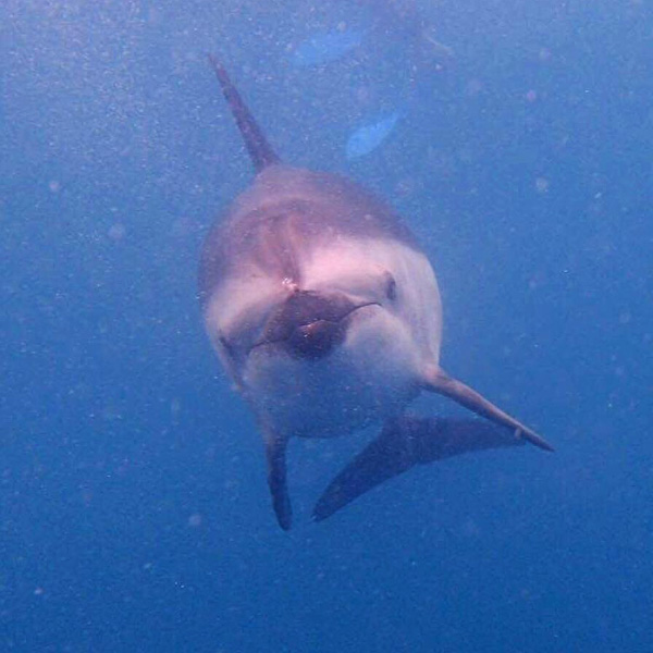 dusky dolphin looking at underwater camera in Kaikoura in New Zealand