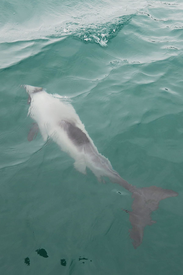 hector dolphin swimming underwater in akaroa in new zealand